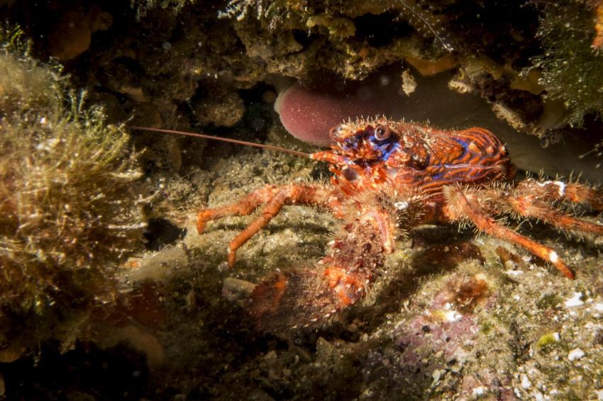 Krabbe, Squatina Diving, Insel Krk - Kroatien - Baska, Kroatien