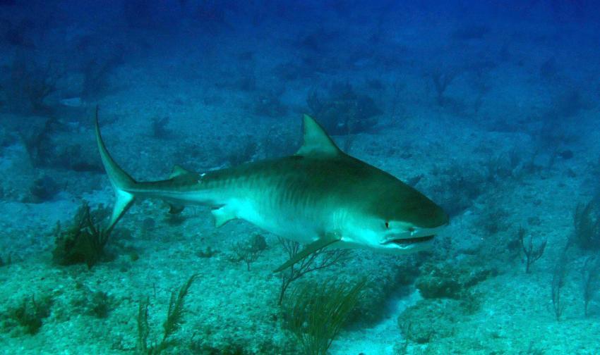 tauchen mit dem Tigerhai, faszination pur !!