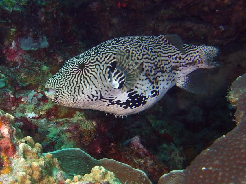 Aberratin Dive Club, Hausriff, Aberratin Dive Club,Hausriff,Philippinen,Kugelfisch