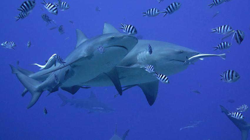 Haitauchen Beqa, Fidschi, Haitauchen, Bullenhaie, Beqa Adventure Divers, Fidschi