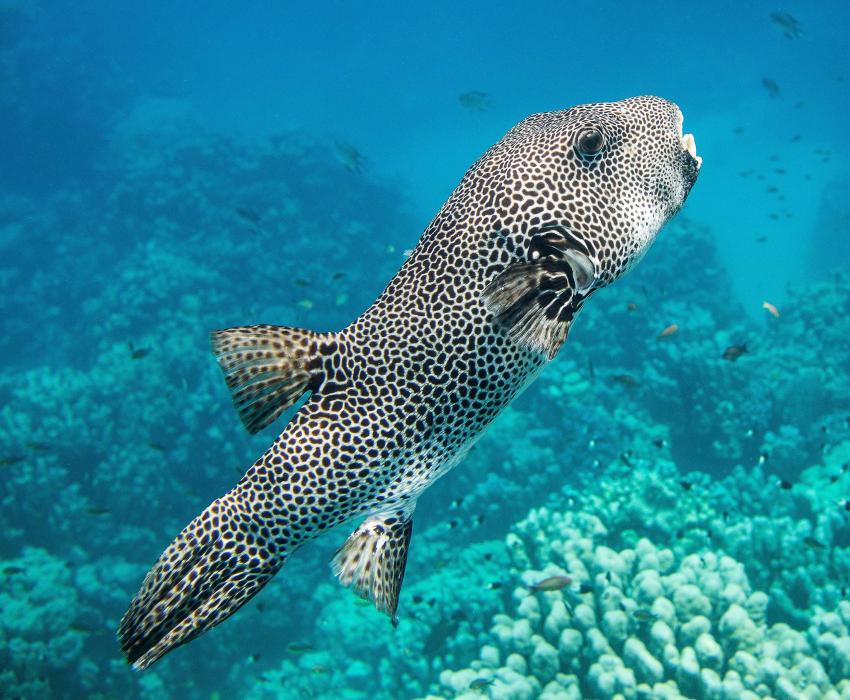 Der Riesenkugelfisch begleitet mich neugierig - Gorgonia Hausriff
