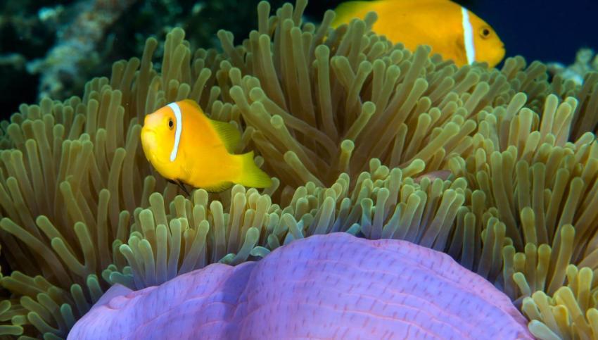 Clownfisch, Anemonenfische, Nemo, Anemone, Euro-Divers Amari Havodda, Malediven