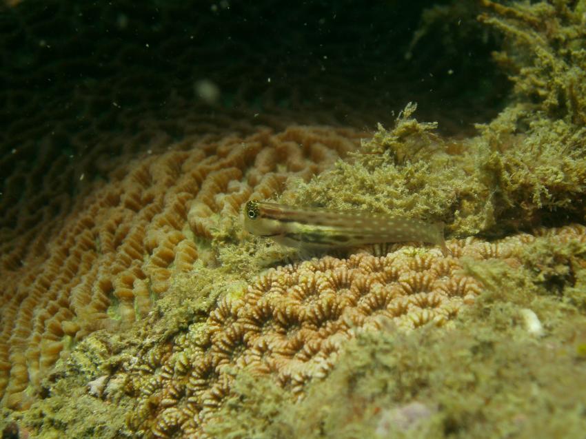 viel Kleines unterwegs, LSR Diving Passikuda, Sri Lanka