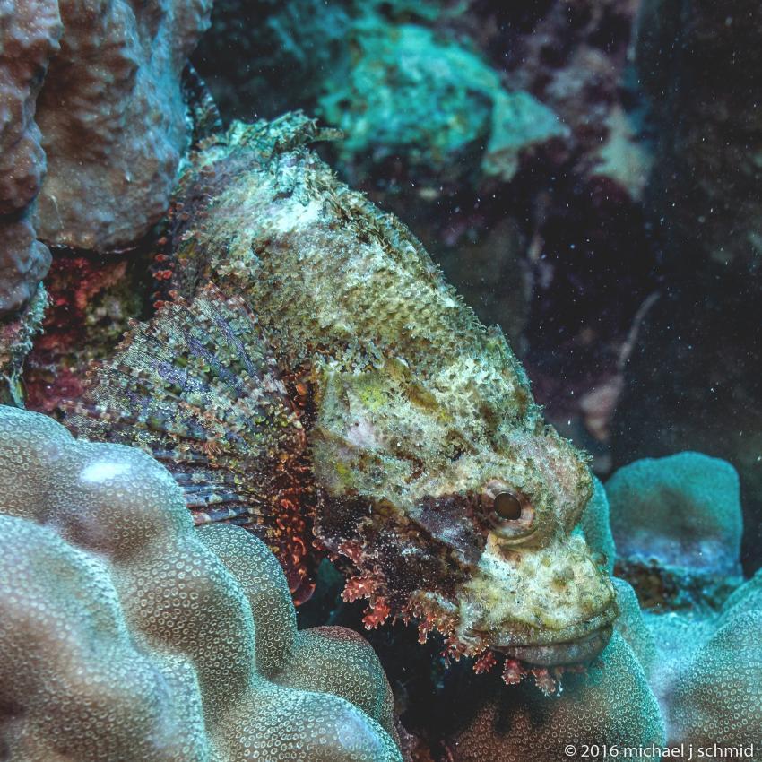Skorpionsfisch am Gorgonia-Hausriff