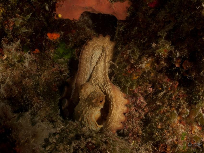 Octopus, Oktopus, Styria Guenis Diving Center, DIE Tauchbasis auf der Insel Krk, DIE Tauchbasis auf der Insel Krk, Styria Guenis Diving Center, Kroatien