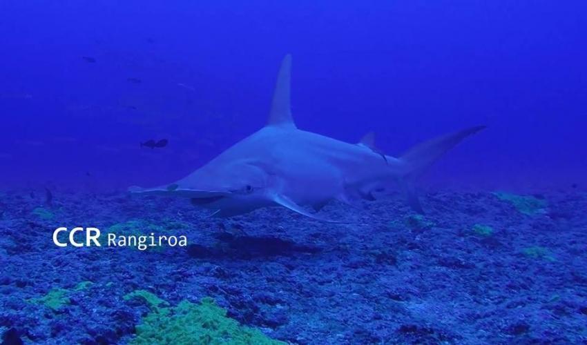 Hammerhai, Rangiroa Diving Center (vorm. Paradive), Französisch-Polynesien