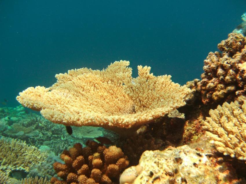 div Tauchplätze von Gasfinolhu aus, Nord Male Atoll,Malediven