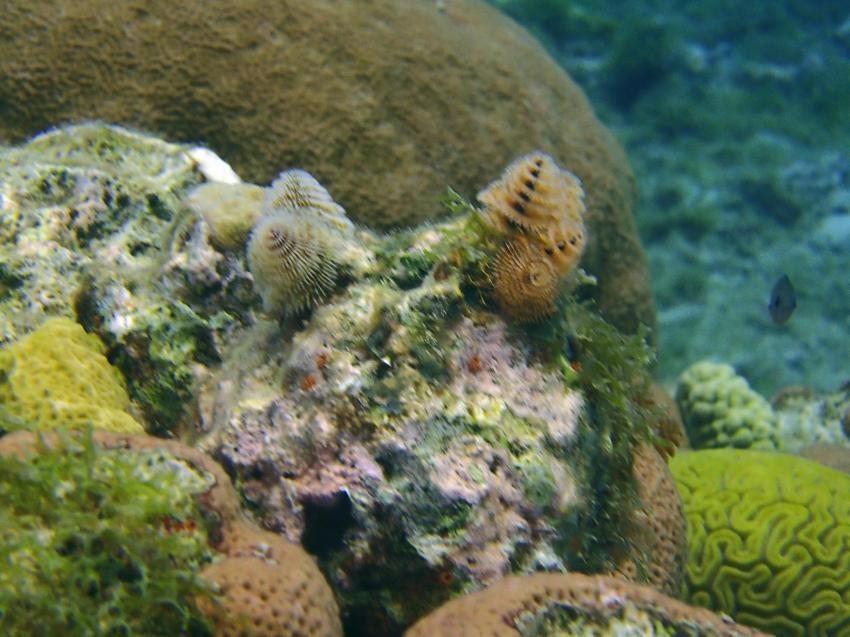 Weihnachtsbaumwürmer, Bahia Apartments & Diving, Lagun, Niederländische Antillen, Curaçao