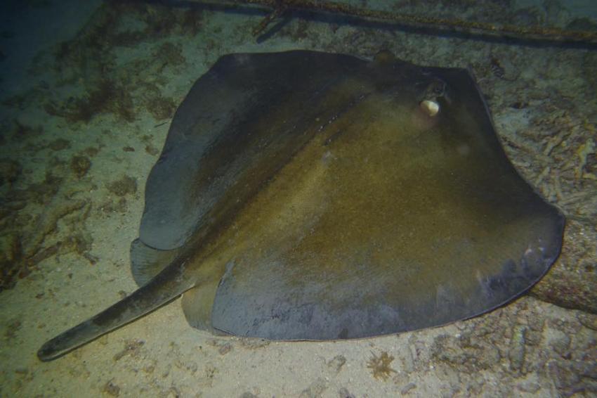 Beim Nachttauchen, Curacao Divers (Sun Reef Village), Sint Michiel, Niederländische Antillen, Curaçao