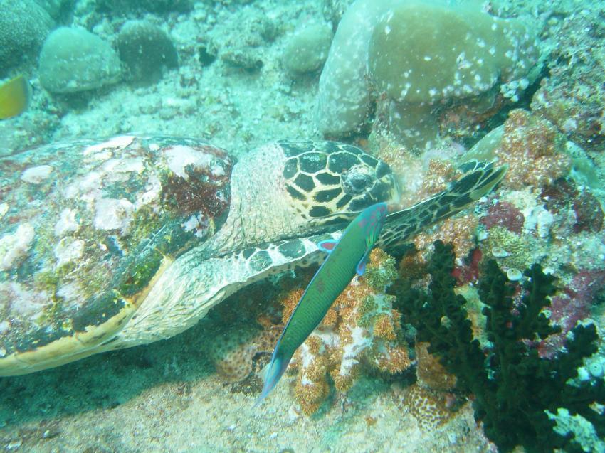 Handhu Falhi Tauchsafari, Handhu Falhi,Malediven,Schildkröte,Weichkoralle,fressen