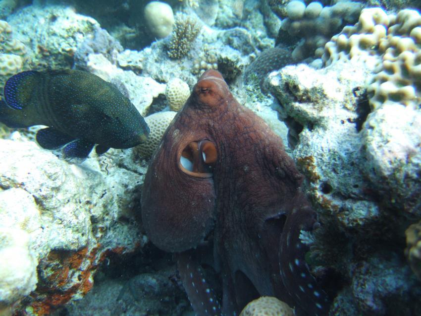Angaga / Ari Atoll, Angaga / Ari Atoll,Malediven,Kraken,Oktopus