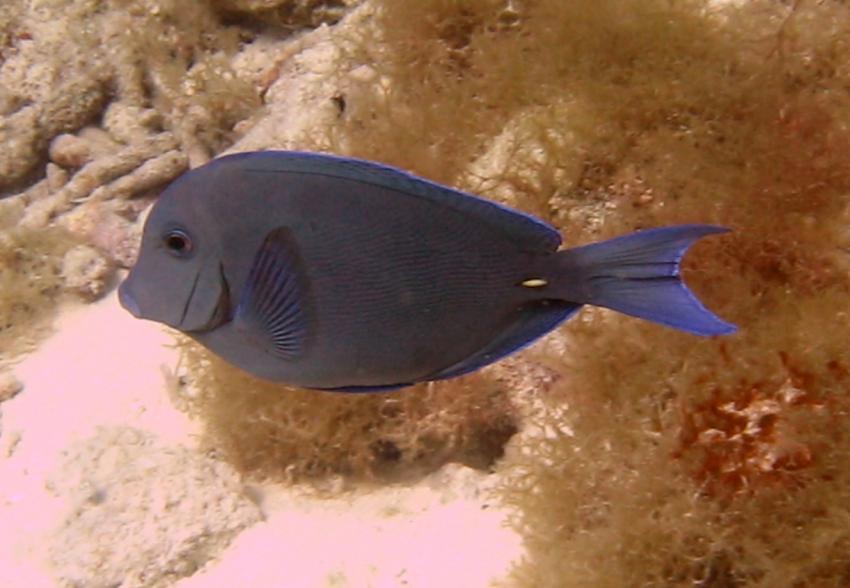 rund um West Punt, West Punt,Curaçao,Niederländische Antillen,Blauer Doktorfisch