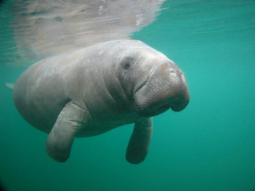 Coming to you, Manatee Snorkel, Bird`s Underwater Dive Center, Crystal River, USA, Florida