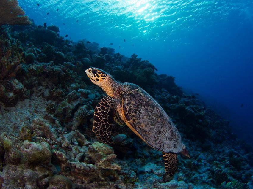 Schildkröte, Aquaventure, Addu-Atoll, Malediven