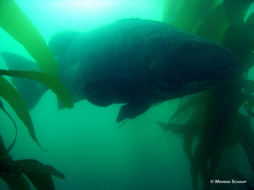 Giant Black Sea Bass, Sting Ray, Kelp Bass, Garibaldi, La Jolla Cove Marine Reserve,Kalifornien,USA
