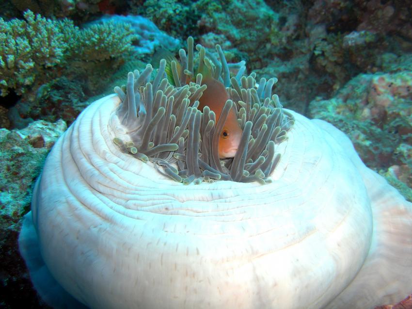 Reethi Beach( Baa Atoll), Reethi Beach,Malediven,Nemo,anemone,anemonenfisch,clownfisch,fuss,weiss