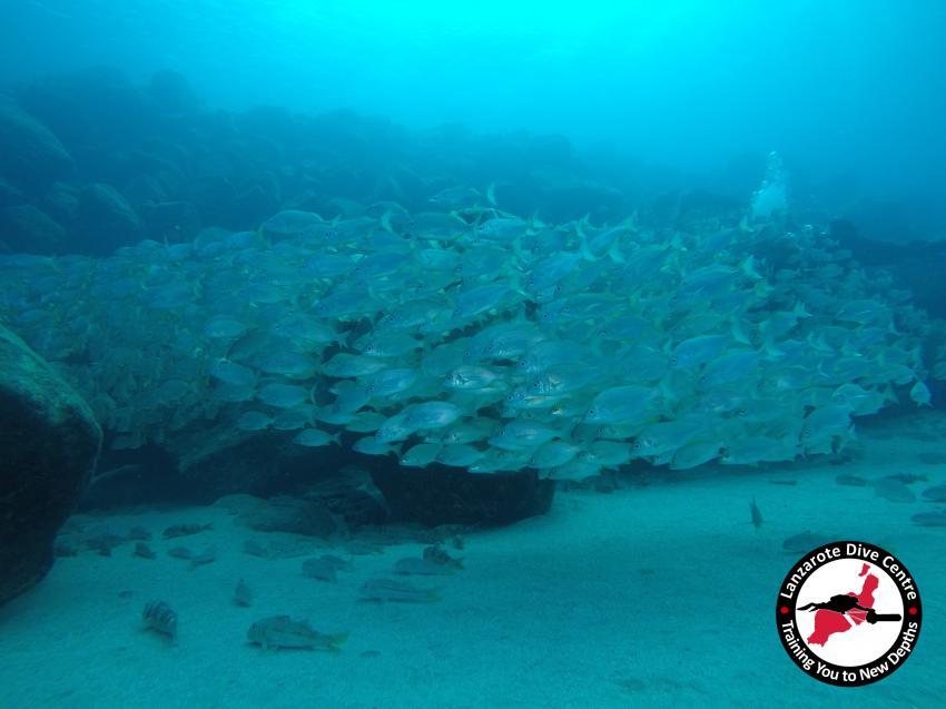 Bastard Grunt, Lanzarote, Playa Flamingo, Lanzarote Dive Centre, Lanzarote Dive Centre, Puerto del Carmen, Spanien, Kanaren (Kanarische Inseln)