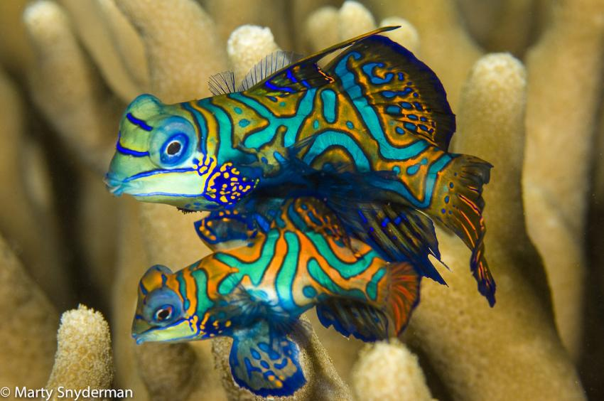 Rainbow Reef  Photo Copyrights: Marty Snyderman, Mandarinfish Ledge (Rainbow Reef), Mikronesien