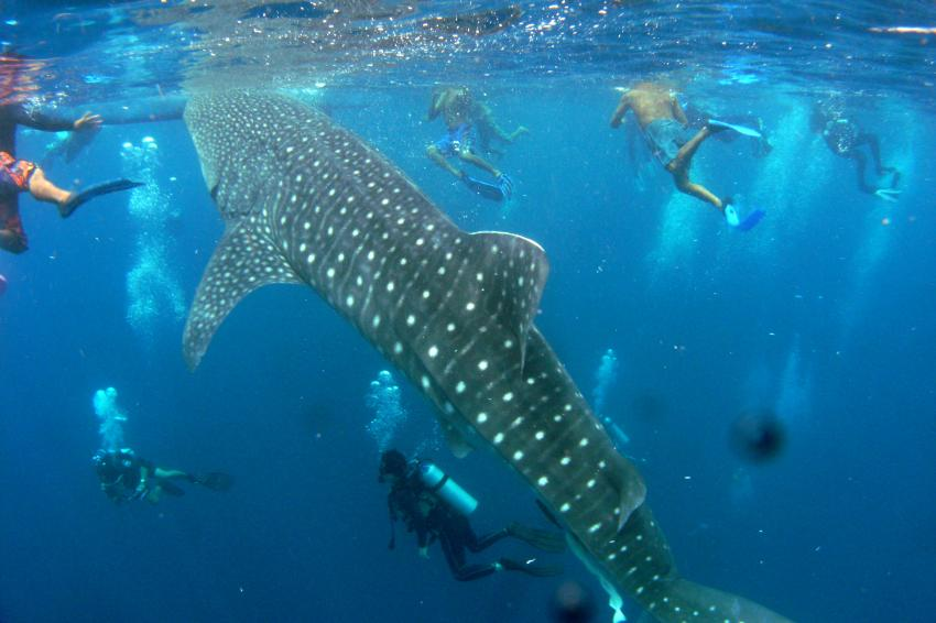 Whale Sharks in Pescador Moalboal