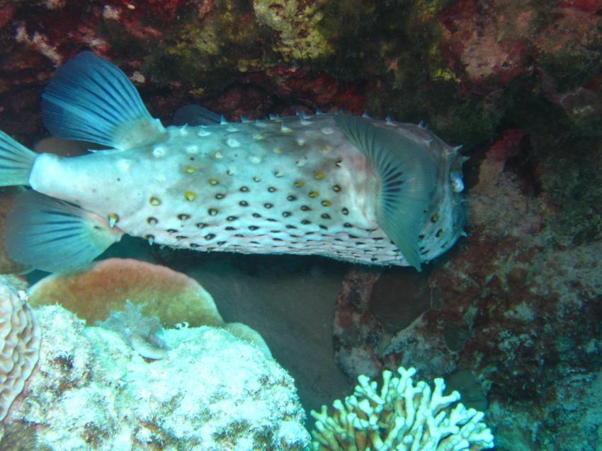 IIIIgel, diving.DE Abu Dabab, El Malikia Resort, Ägypten, Marsa Alam und südlich