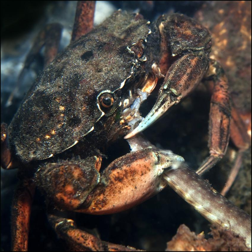Grevelinger Meer, Krabben, Hummer, Garnelen, Bommenede,Grevelinger Meer,Niederlande,Krabbe