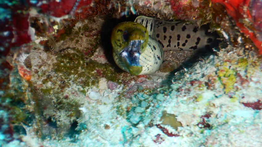 Filadhoo Wreck Muraene, The Barefoot Diving Center, Hanimadhoo, Malediven