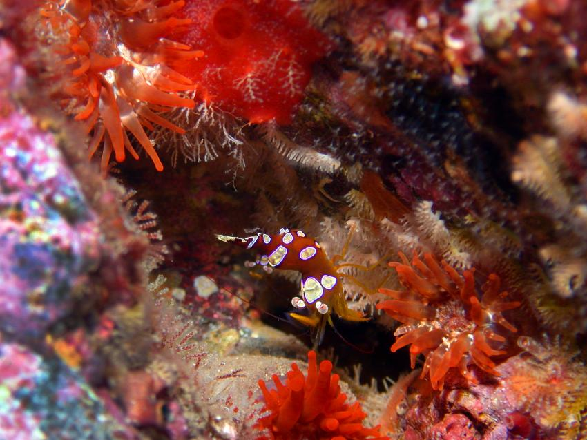 Rot-Weiß gefleckten Buckelgarnele, Keulenanemone, Atalaia, Atalaia Diving Center, Anemone Reef, Madeira, tauchen, Portugal, Buckelgarnele