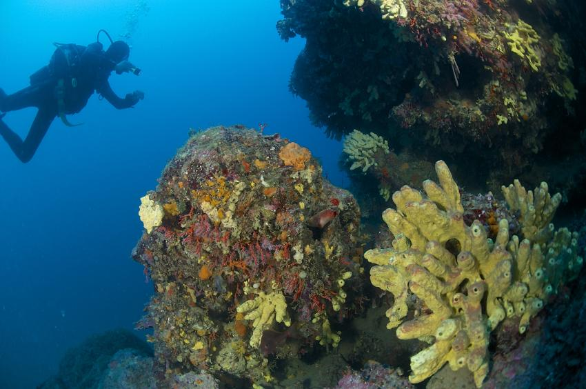 Schwämme, Schwämme, Mittelmeer, Spiro Sub Diving Elba, Marina di Campo (Elba), Italien, Elba