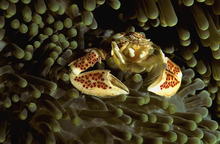 Rotes Meer allgemein, Rotes Meer allgemein,Ägypten,krabbe,porzellankrabbe,anemone