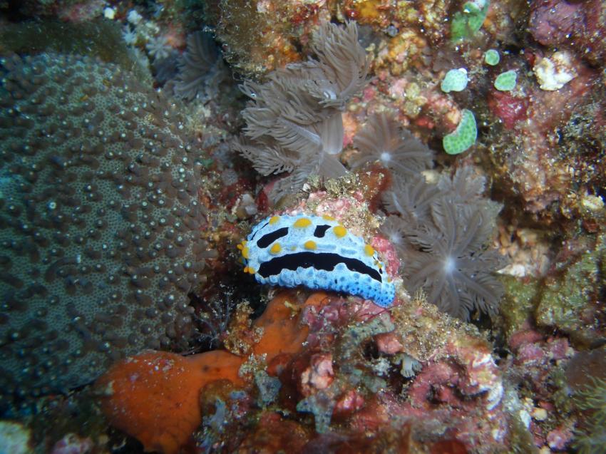 Lombok, Lomboks Süden,Indonesien,Warzenschnecke