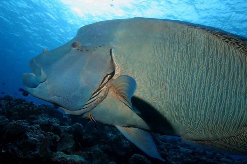 Palau Aggressor 2, Palau und Yap allgemein,Palau,Napoleon Lippfisch