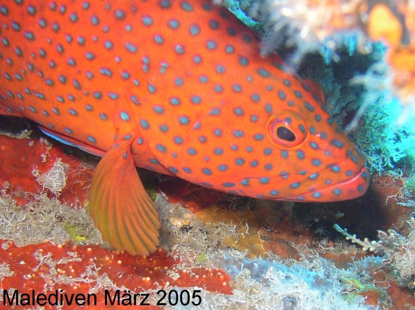 Süd-Male-Atoll, Süd-Male-Atoll,Malediven,Juwelenbarsch
