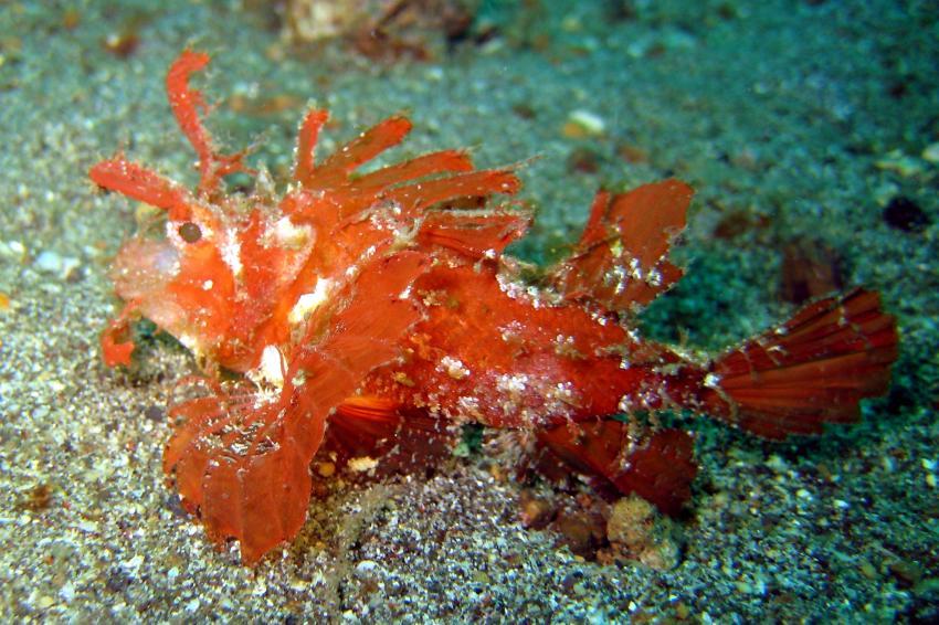 Lembeh, Lembeh,Indonesien,Skorpionsfische,Rotfeuerfisch