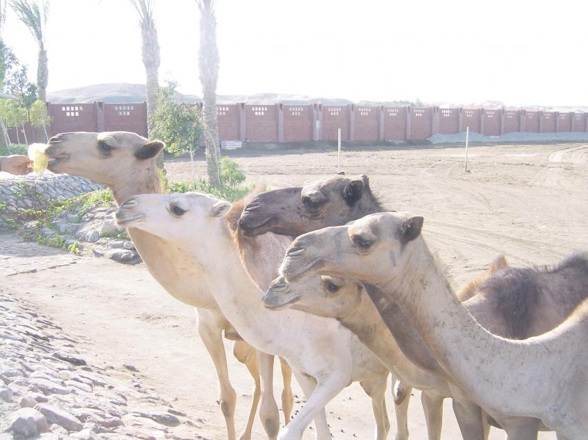 Wadi Gimal, Wadi Gimal,Ägypten
