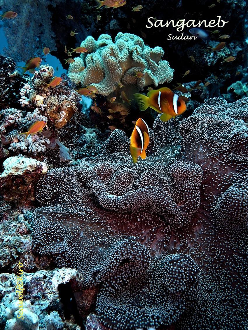Sanganeb Südwest Plateau, Sudan Seawolf Diving Safari Sanganeb Leuchtturm Dominator Reef Plateau, Sanganeb SüdwestPlateau, Sudan