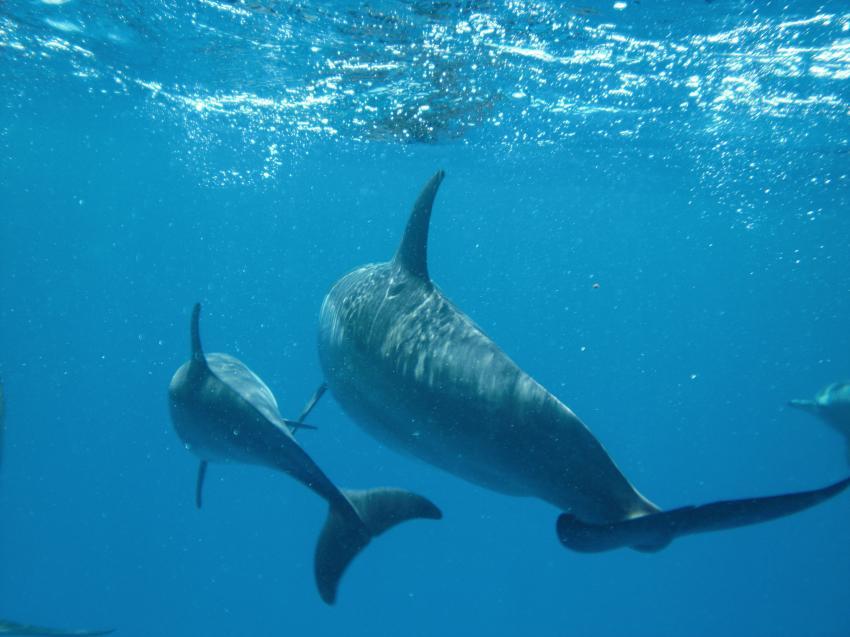 Shaab Marsa Alam , Delfine, Sha´ab Marsa Alam,Ägypten,Delfine,Cetacea,Wasseroberfläche,Schule