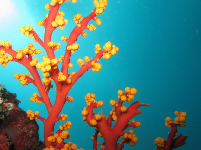 Schöne rot-gelbe Koralle