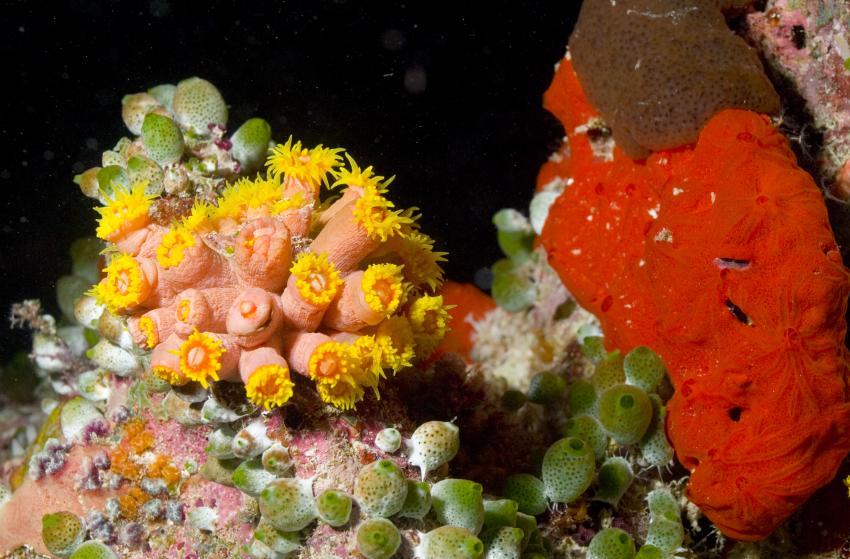 SY Siren Tauchsafari südliche Atolle, Tauchsafari südliche Atolle,Malediven,Korallen,weich,hart,bunt,Schwamm