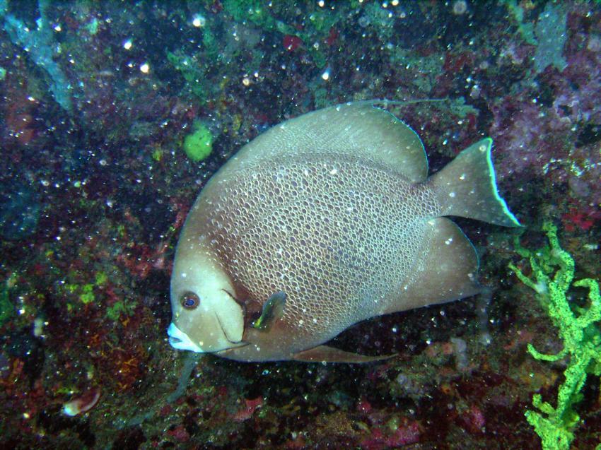 Arnos Vale; Tobago, Arnos Vale,Tobago,Trinidad und Tobago,Kaiserfisch