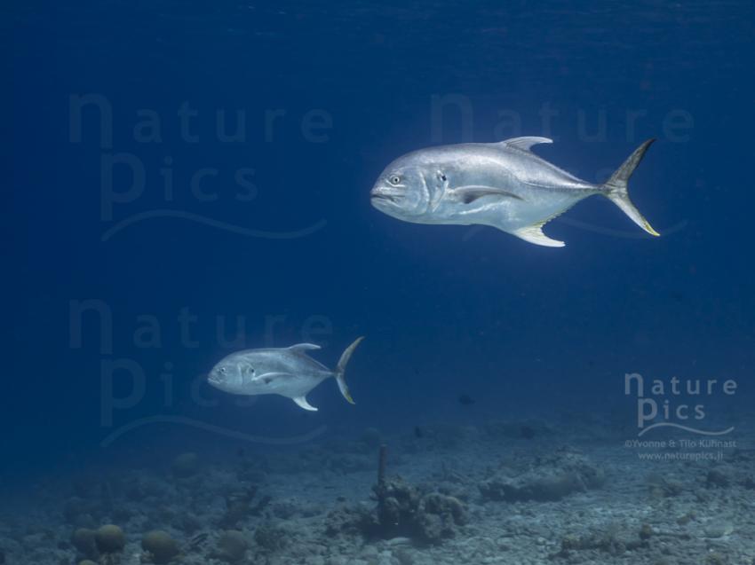 Makrelen - Playa Kalki, Poppy Hostel Curacao, Willemstad, Niederländische Antillen, Curaçao
