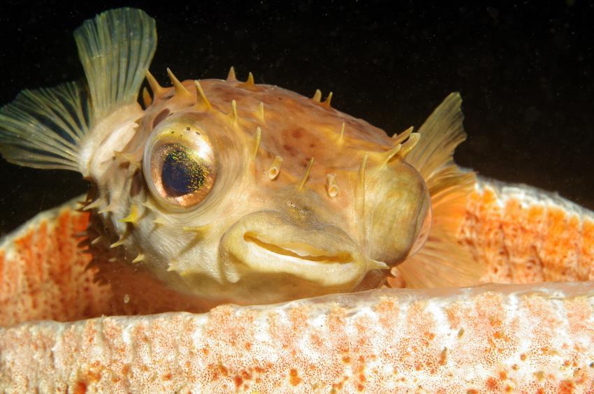 diverse Tauchplätze Juni/Juli 2009, Lembeh Strait,Indonesien,Igelfisch,Porträt,Diodontidae,auf Koralle liegend