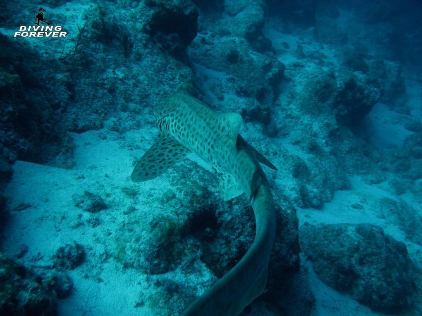 Zebrahai / El Fanadir /  DIVING FOREVER / Hurghada, Zebrahai / El Fanadir /  DIVING FOREVER / Hurghada, Diving Forever Hurghada, Ägypten, Hurghada