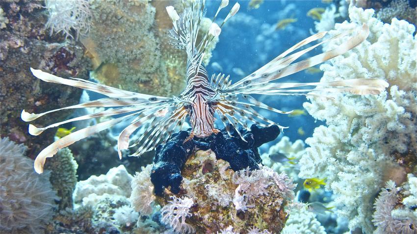 Yolanda, Ras Ghozlani, Amphoras, Yolanda Reef / Shark Reef & Anemone City (Sharm El Sheikh),Ägypten