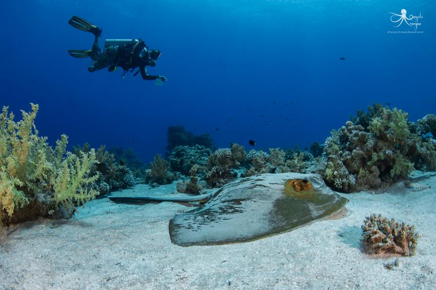 Taucher, Rochen, Eagle Divers, Sharm el Sheikh, Ägypten, Sinai-Süd bis Nabq