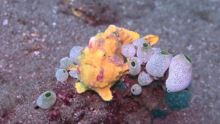 Zahlreich und in allen Größen und Farben am Riff: Anglerfische
