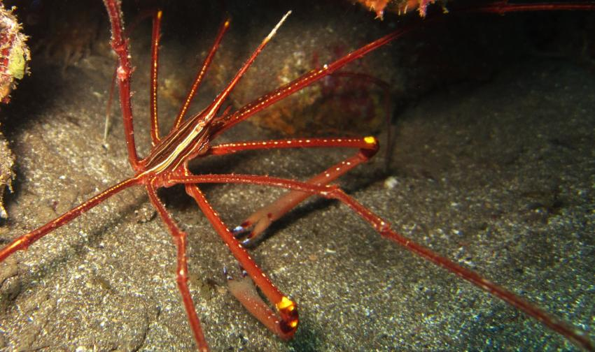 arrow shrimp, diving gran canaria, Zeus Dive Center, Playa del Ingles, Gran Canaria, Spanien, Kanaren (Kanarische Inseln)