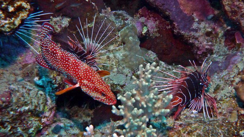Strahlenfeuerfische mit Juwelenzackenbarsch