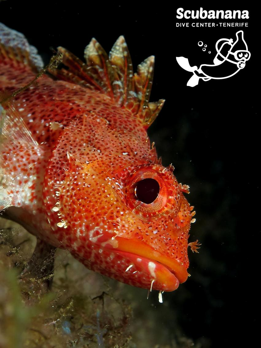 Drachenkopf in Radazul, Teneriffa, Kanarische Insels, Radazul, Teneriffa, Kanarische Insels, Scubanana Dive Center, Teneriffa, Spanien, Kanaren (Kanarische Inseln)