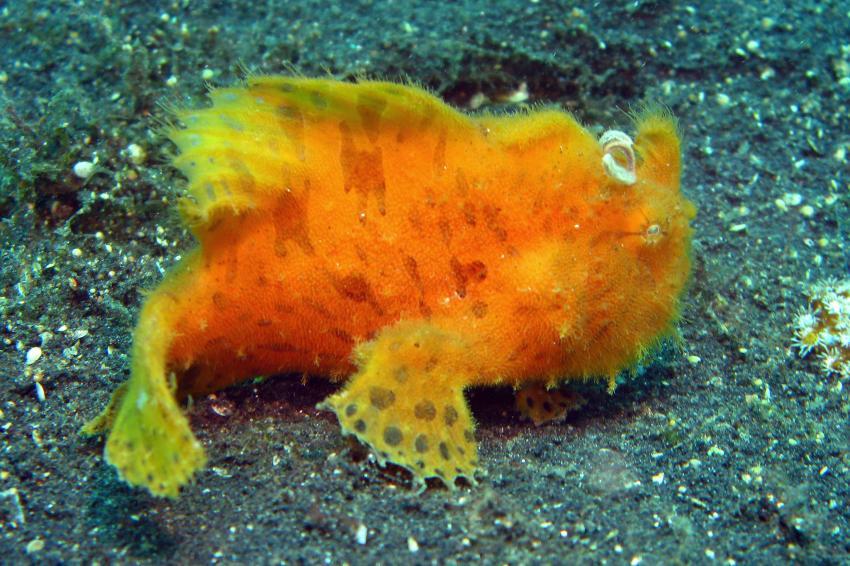 Lembeh mit Bastianos / Diverse 2, Lembeh Strait,Nord Sulawesi,Indonesien,Anglerfische,Antennariidae,Frogfisch,juvenil