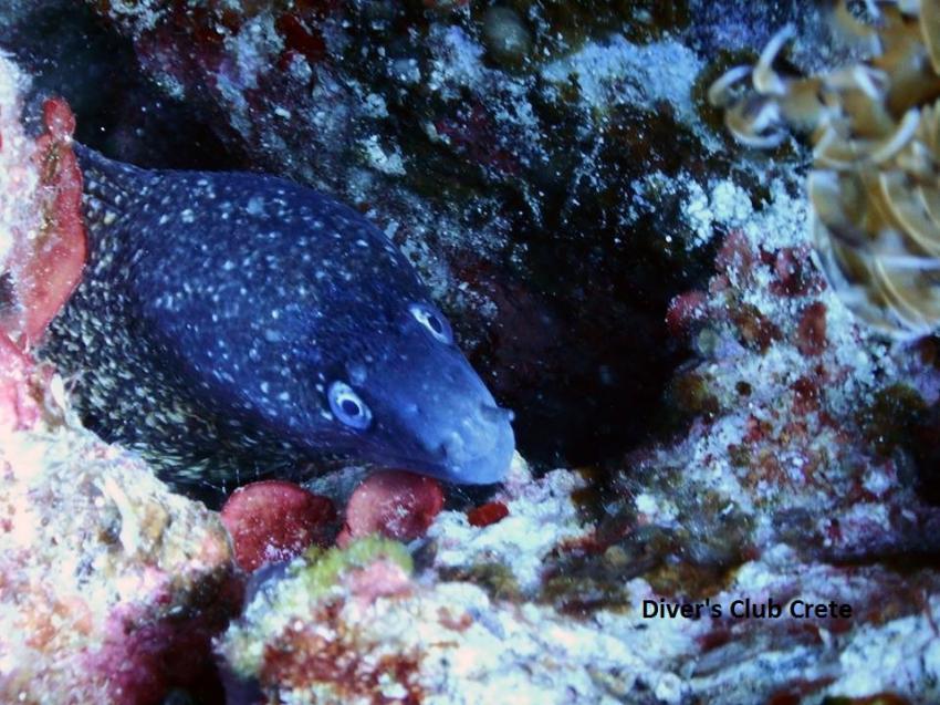 Moray Eel, Reef Diving, Divers Club Crete, Agia Pelagia, Kreta, Griechenland